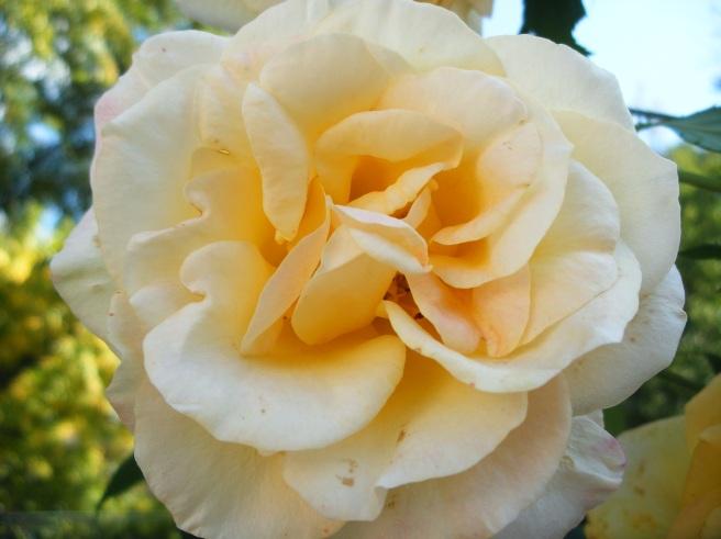 Rose, Summer 2012
